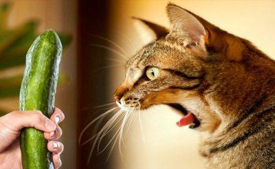 Kat en komkommer